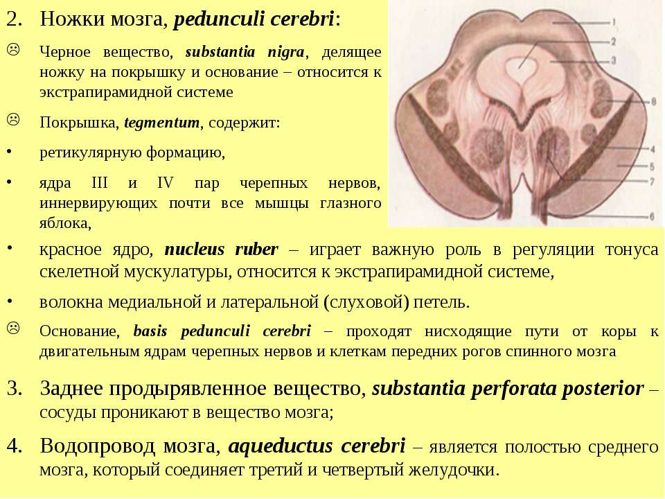 Ножки мозга, pedunculi cerebri: Черное вещество, substantia nigra, делящее но...