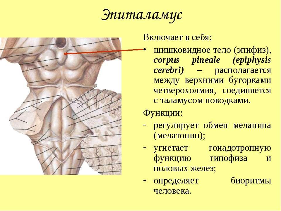 Эпиталамус Включает в себя: шишковидное тело (эпифиз), corpus pineale (epiphy...