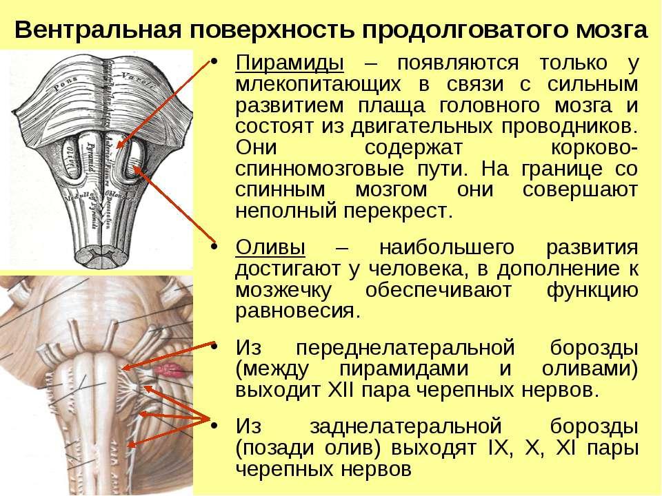 Вентральная поверхность продолговатого мозга Пирамиды – появляются только у м...