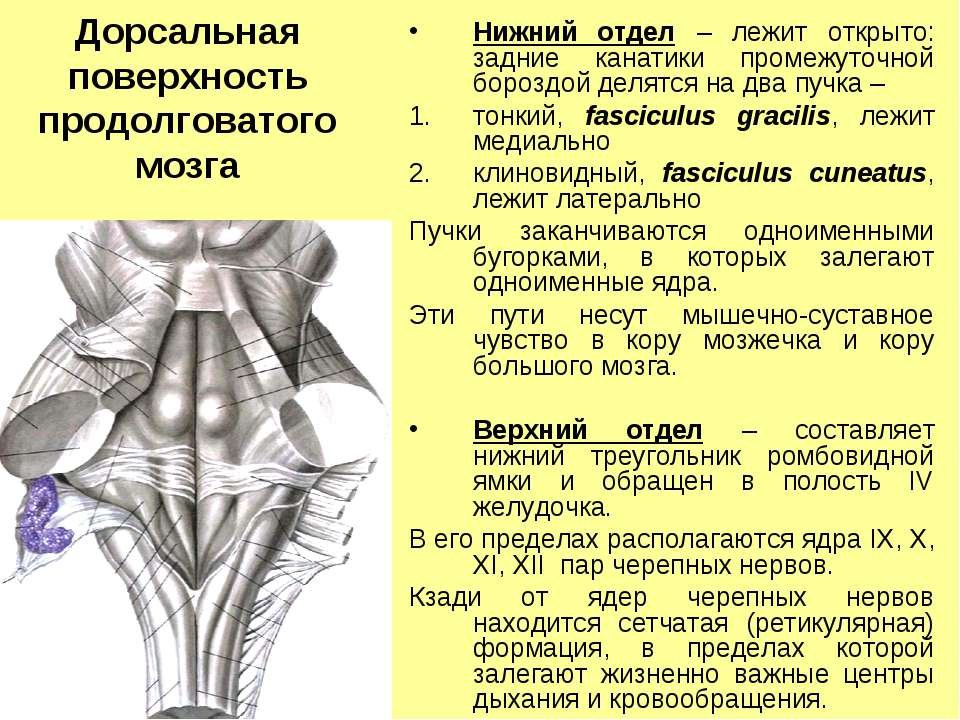 Дорсальная поверхность продолговатого мозга Нижний отдел – лежит открыто: зад...