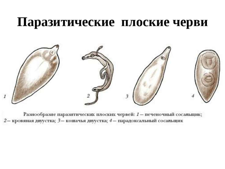 Паразитические плоские черви