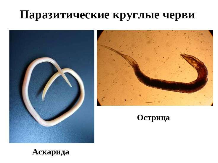 Паразитические круглые черви Аскарида Острица