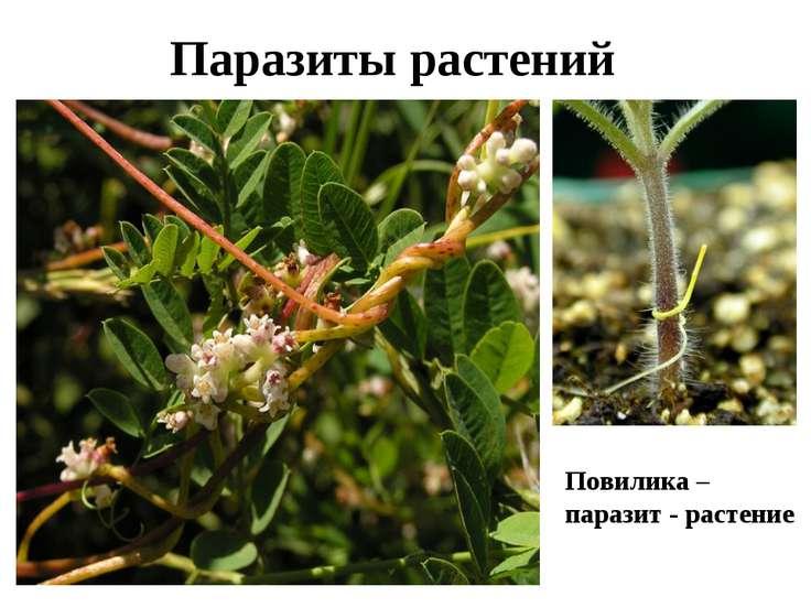 Паразиты растений Повилика – паразит - растение