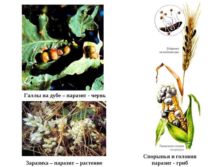 Галлы на дубе – паразит - червь Заразиха – паразит – растение Спорынья и голо...