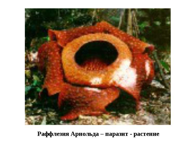 Раффлезия Арнольда – паразит - растение