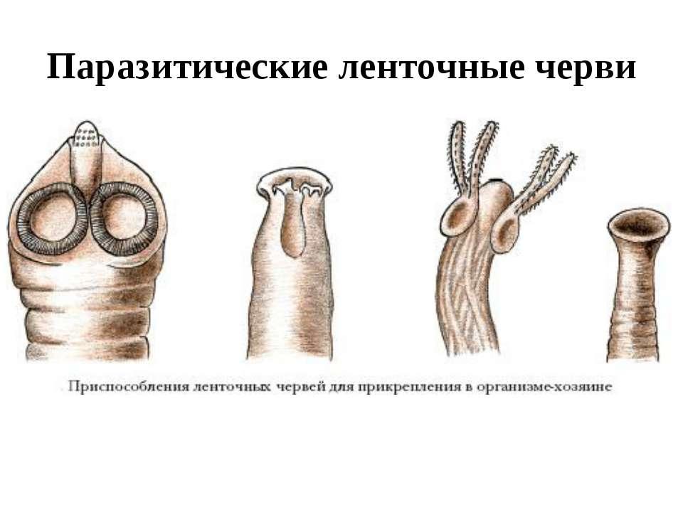 Паразитические ленточные черви