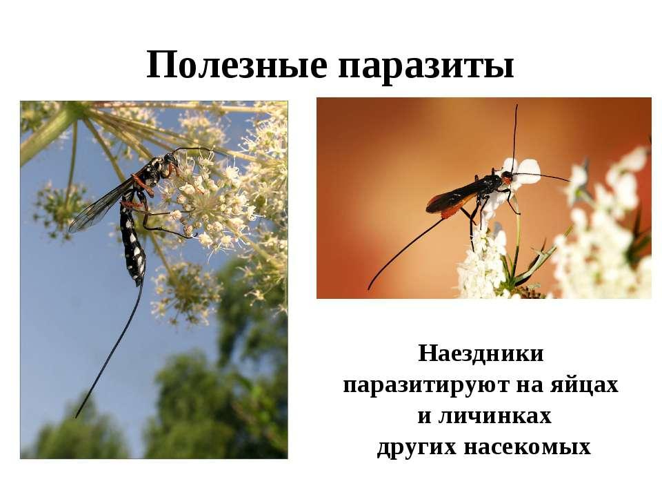 Полезные паразиты Наездники паразитируют на яйцах и личинках других насекомых