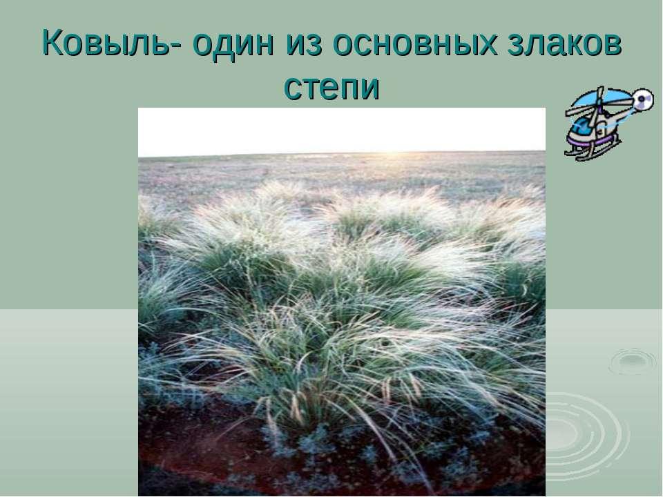 Ковыль- один из основных злаков степи