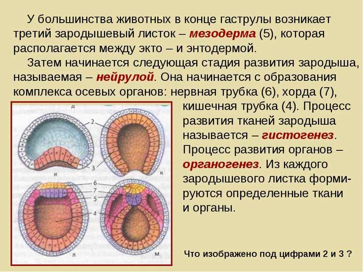 У большинства животных в конце гаструлы возникает третий зародышевый листок –...
