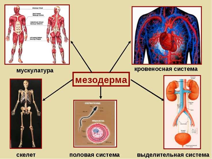 мезодерма мускулатура кровеносная система скелет выделительная система полова...