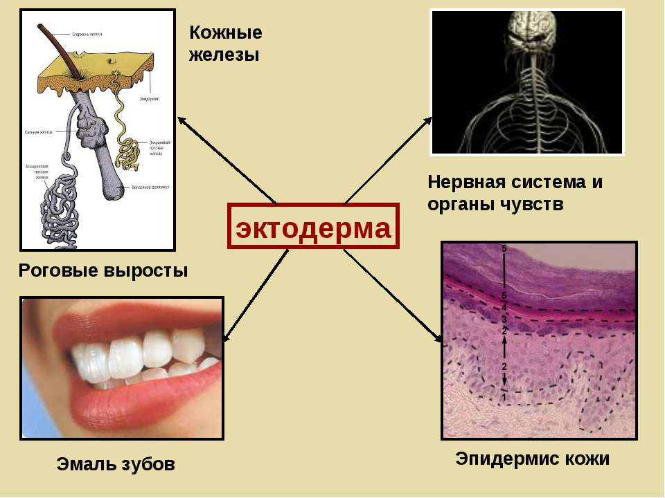 эктодерма Нервная система и органы чувств Эмаль зубов Эпидермис кожи Кожные ж...