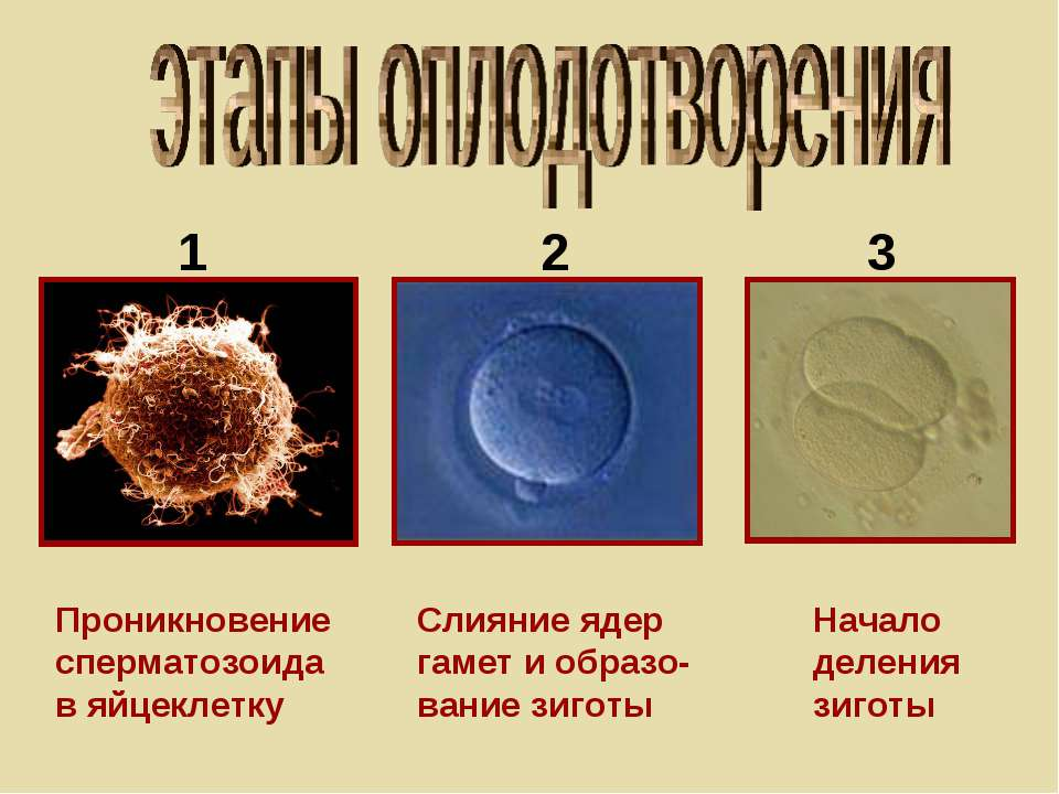 Проникновение сперматозоида в яйцеклетку Слияние ядер гамет и образо- вание з...