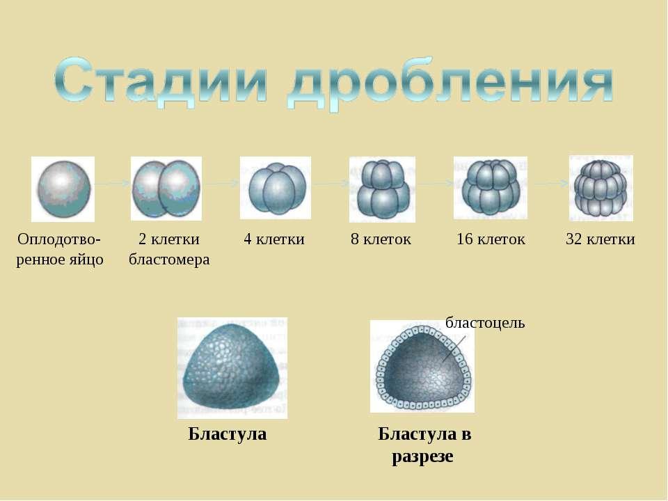 Оплодотво-ренное яйцо 2 клетки бластомера 4 клетки 8 клеток 16 клеток 32 клет...