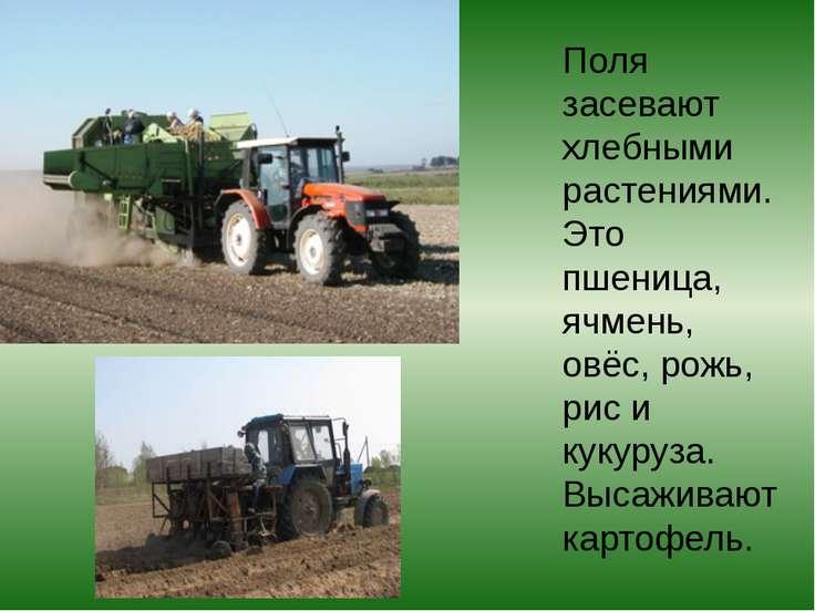 Поля засевают хлебными растениями. Это пшеница, ячмень, овёс, рожь, рис и кук...