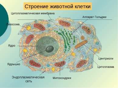 Строение животной клетки Аппарат Гольджи Центриоли Митохондрии Лизосома Эндоп...