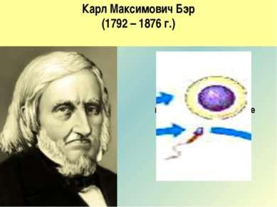 Карл Максимович Бэр (1792 – 1876 г.) 1827 год Открыл яйцеклетку млекопитающих...