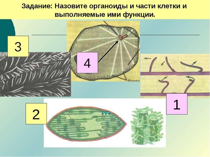 Задание: Назовите органоиды и части клетки и выполняемые ими функции. 3 4 2 1