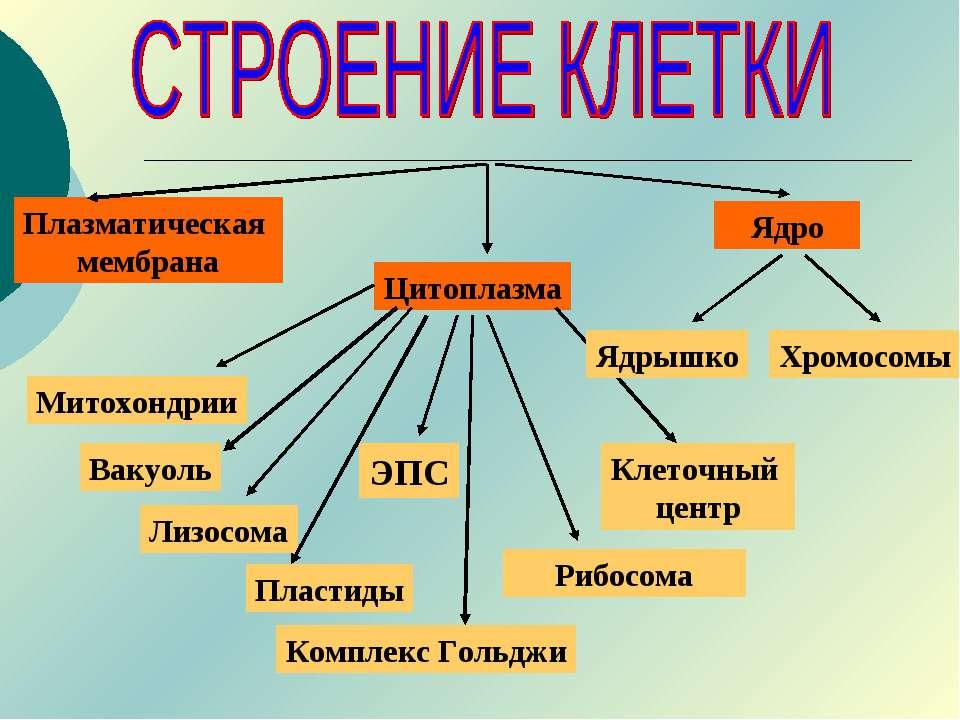 Ядро Цитоплазма Митохондрии Плазматическая мембрана Комплекс Гольджи Рибосома...