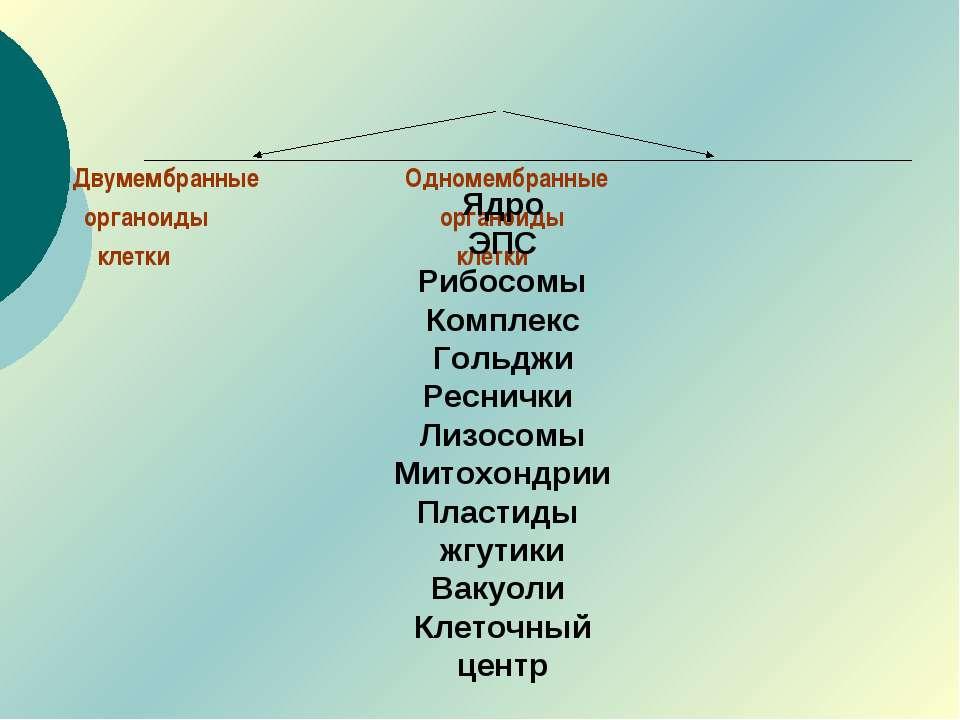 Двумембранные Одномембранные органоиды органоиды клетки клетки Ядро ЭПС Рибос...
