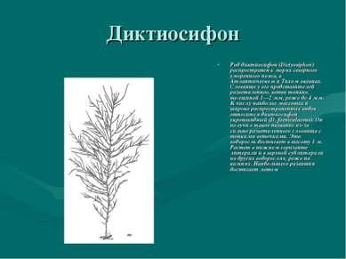 Диктиосифон Род диктиосифон (Dictyosiphon) распространен в морях северного ум...