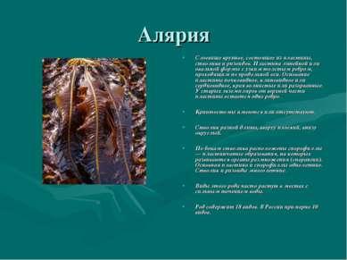 Алярия Слоевище крупное, состоящее из пластины, стволика и ризоидов. Пластина...