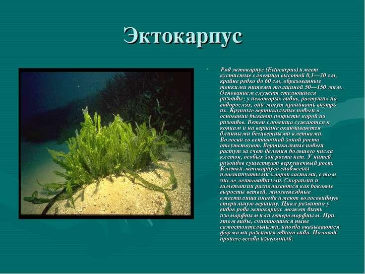 Эктокарпус Род эктокарпус (Ectocarpus) имеет кустистые слоевища высотой 0,1—3...