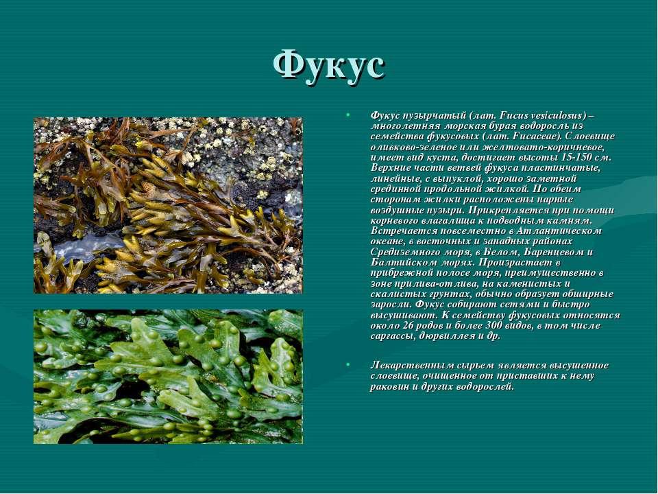 Фукус Фукус пузырчатый (лат. Fucus vesiculosus) – многолетняя морская бурая в...