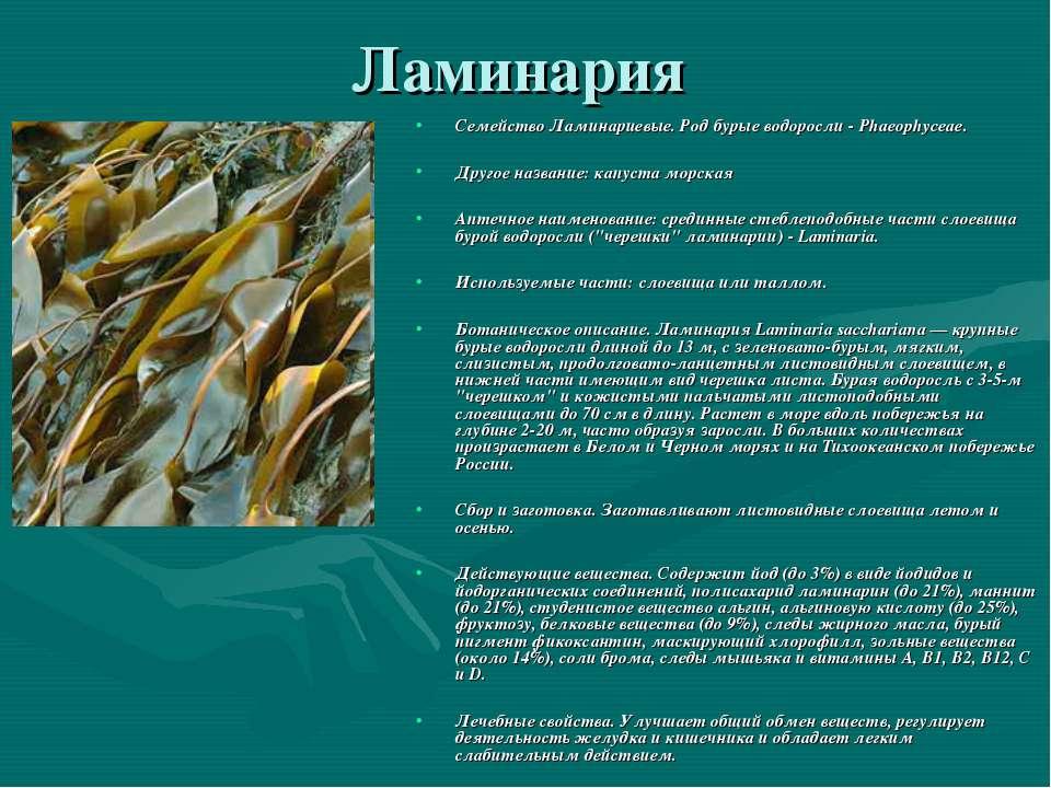 Ламинария Семейство Ламинариевые. Род бурые водоросли - Phaeophyceae. Другое ...
