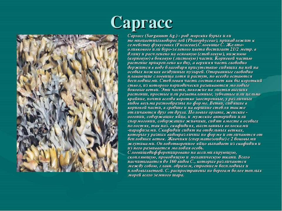 Саргасс Саргасс (Sargassum Ag.) - род морских бурых или темноцветныхводоросле...