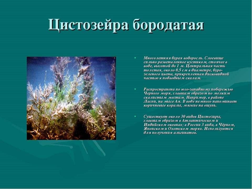 Цистозейра бородатая Многолетняя бурая водоросль. Слоевище сильно разветвленн...