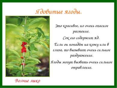 Ядовитые ягоды. Это красивое, но очень опасное растение. Сок его содержит яд....