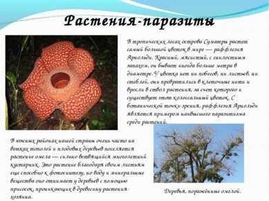 В тропических лесах острова Суматры растет самый большой цветок в мире — рафф...