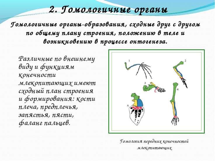2. Гомологичные органы Гомологичные органы-образования, сходные друг с другом...