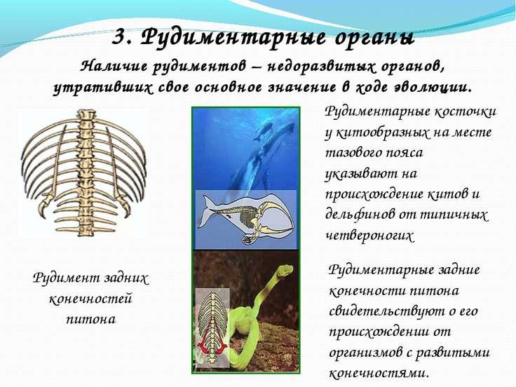 Наличие рудиментов – недоразвитых органов, утративших свое основное значение ...