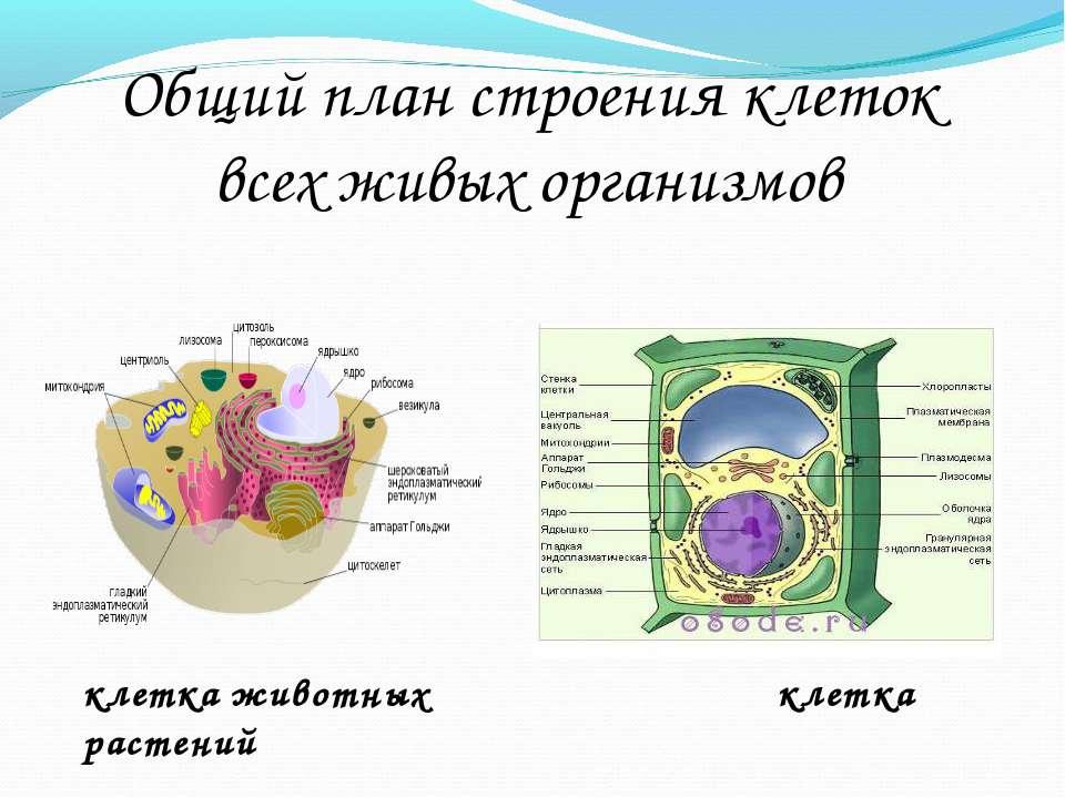Общий план строения клеток всех живых организмов клетка животных клетка растений
