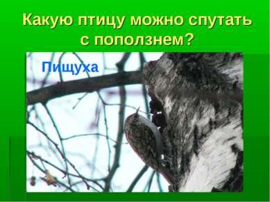 Какую птицу можно спутать с поползнем? Пищуха