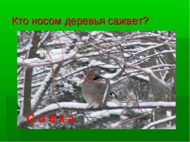Кто носом деревья сажает? С о й к а