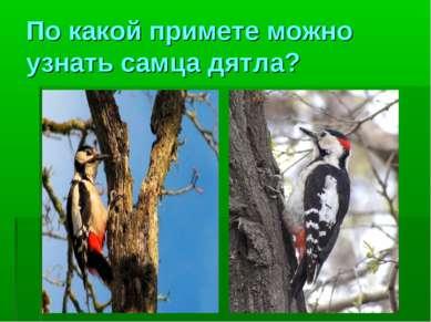По какой примете можно узнать самца дятла?