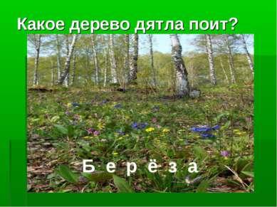 Какое дерево дятла поит? Б е р ё з а