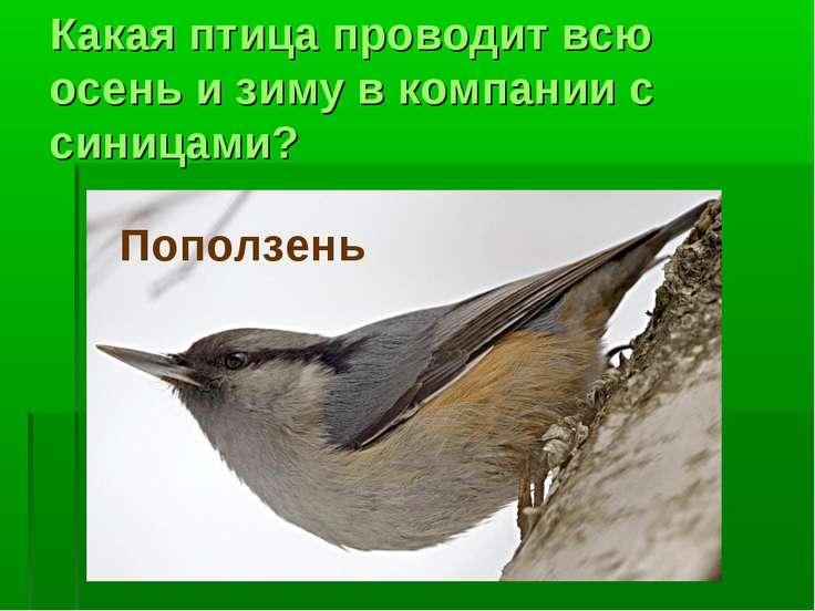 Какая птица проводит всю осень и зиму в компании с синицами? Поползень