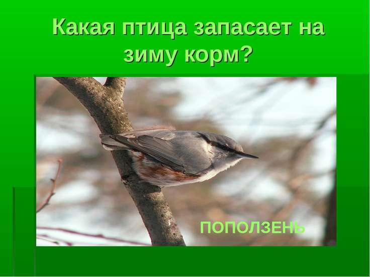 Какая птица запасает на зиму корм? ПОПОЛЗЕНЬ