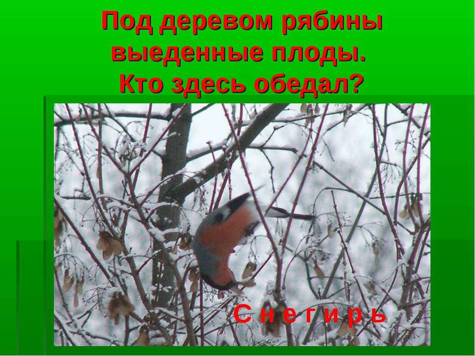 Под деревом рябины выеденные плоды. Кто здесь обедал? С н е г и р ь