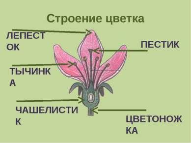 Строение цветка ЛЕПЕСТОК ТЫЧИНКА ПЕСТИК ЦВЕТОНОЖКА ЧАШЕЛИСТИК