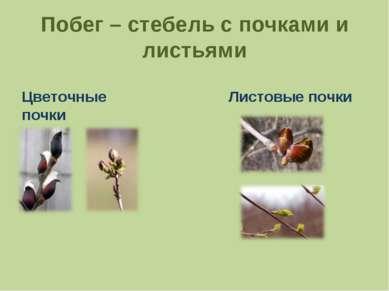 Побег – стебель с почками и листьями Цветочные почки Листовые почки