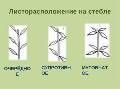 Листорасположение на стебле ОЧЕРЁДНОЕ СУПРОТИВНОЕ МУТОВЧАТОЕ