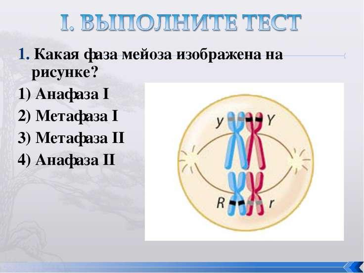 1. Какая фаза мейоза изображена на рисунке? 1) Анафаза I 2) Метафаза I 3) Мет...