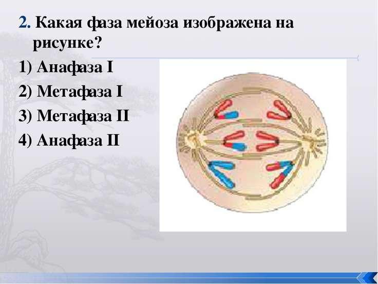 2. Какая фаза мейоза изображена на рисунке? 1) Анафаза I 2) Метафаза I 3) Мет...
