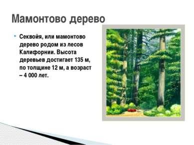 Секвойя, или мамонтово дерево родом из лесов Калифорнии. Высота деревьев дост...