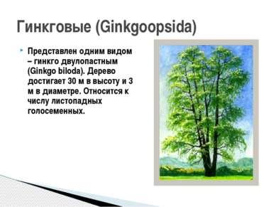 Представлен одним видом – гинкго двулопастным (Ginkgo biloda). Дерево достига...