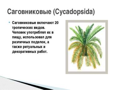 Саговниковые включают 20 тропических видов. Человек употреблял их в пищу, исп...